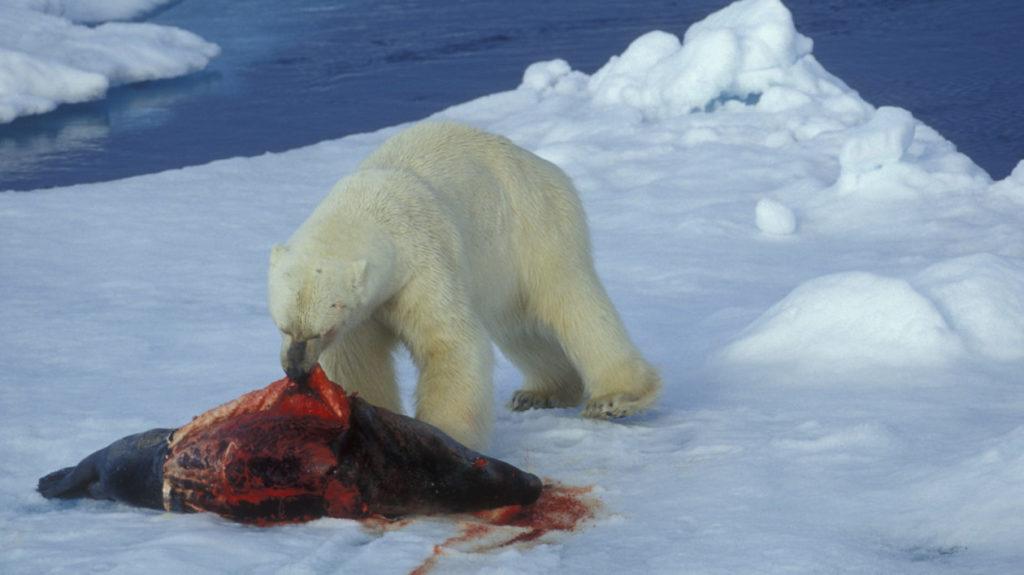 Белый медведь - вообще-то он зеленый