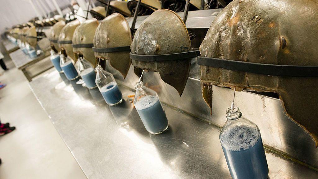 Мечехвост: Подводный рыцарь с голубой кровью