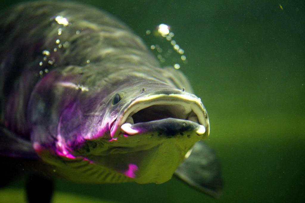 Гигантская Арапайма: Повелитель Южноамериканских водоёмов