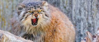 Манул: фото, внешний вид, описание и особенности кота