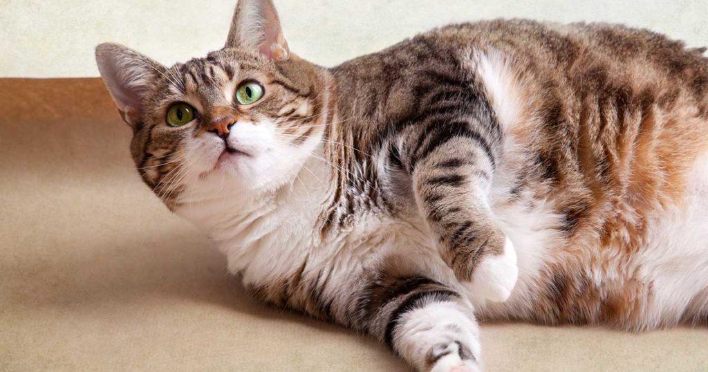 Первые признаки ожирения у кота, и как избежать его избежать