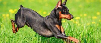 Активные породы собак: топ 10, список, породы и описание