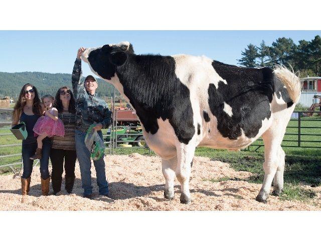 Кникерс - Такого огромного быка вы точно никогда не видели!