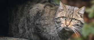 Дикий лесной кот: фото, описание вида, история