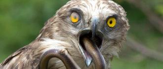 Змееяд: фото, внешний вид, питание и размножение, особенности
