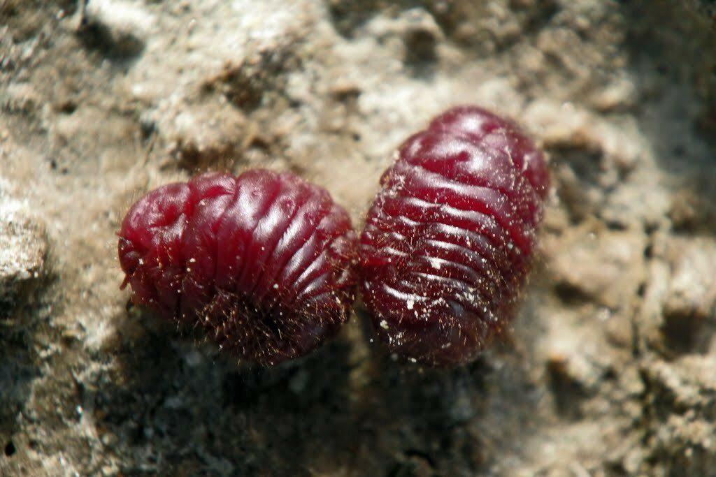 Кошениль: молотые жуки в нашей еде
