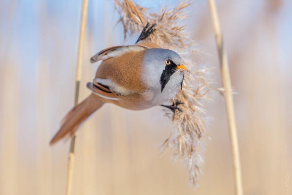 Усатая синица: летающий бодипозитив