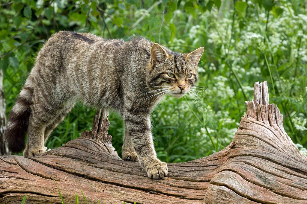 Дикий лесной кот - почему не спешит стать домашним?