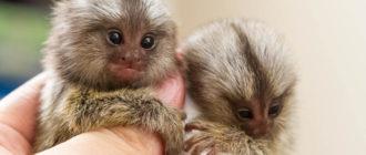 Миниатюрные обезьяны: фото, внешний вид, описание