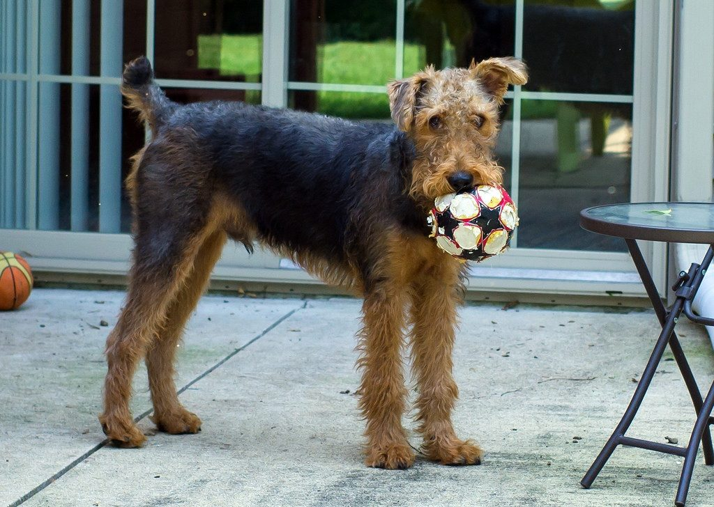 https://poochinfo.com/wp-content/uploads/2018/04/Eight-Months-Old-Airedale-Terrier-Puppy.jpg