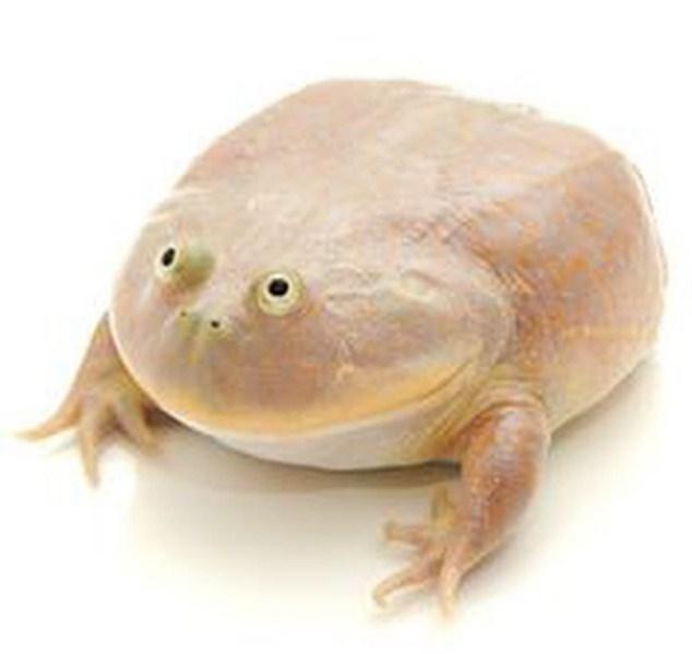 Щитоспинка: лягушка с приступами каннибализма