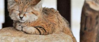 Барханный кот: фото, внешний вид, описание, особенности