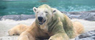 Белый медведь: фото, как выглядит, цвет, особенности