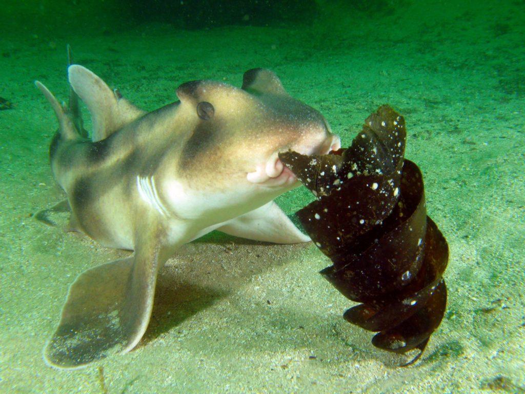 Рогатая акула: ядовитая мясорубка с очень необычными яйцами [Необычный текст]