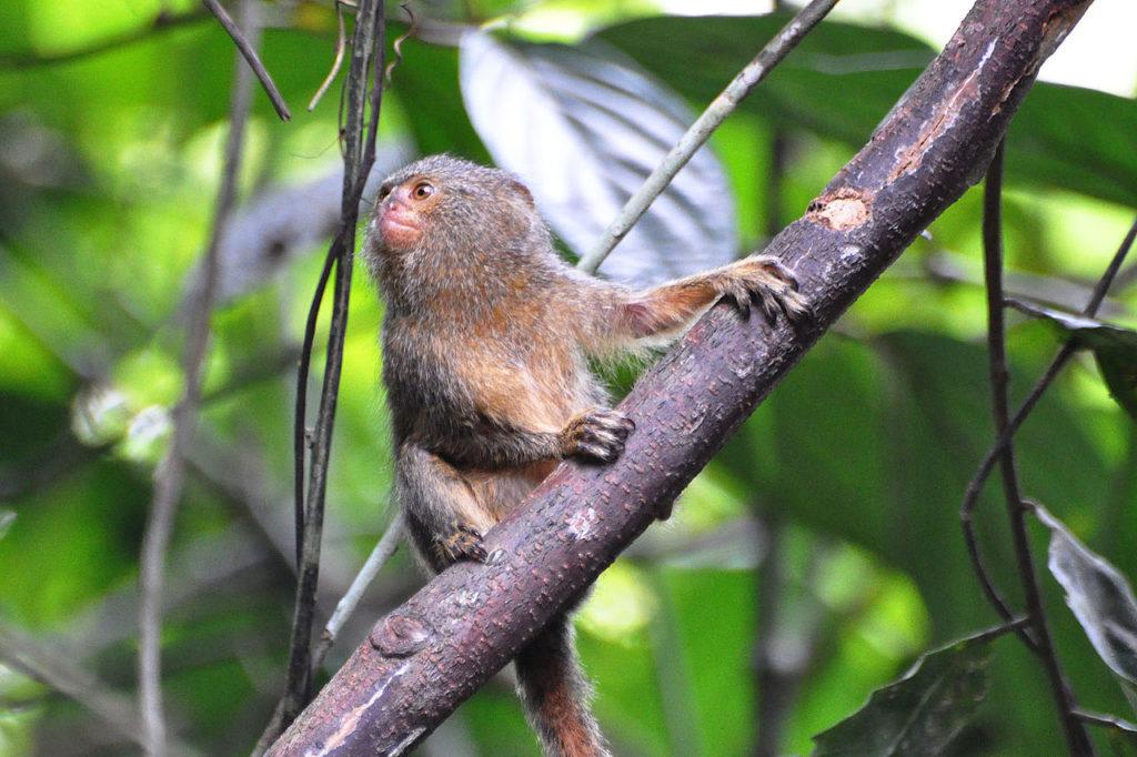 Размером с палец - миниатюрные обезьяны