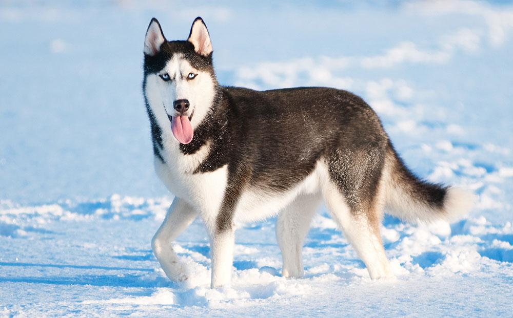 Топ 10 Самых активных пород собак