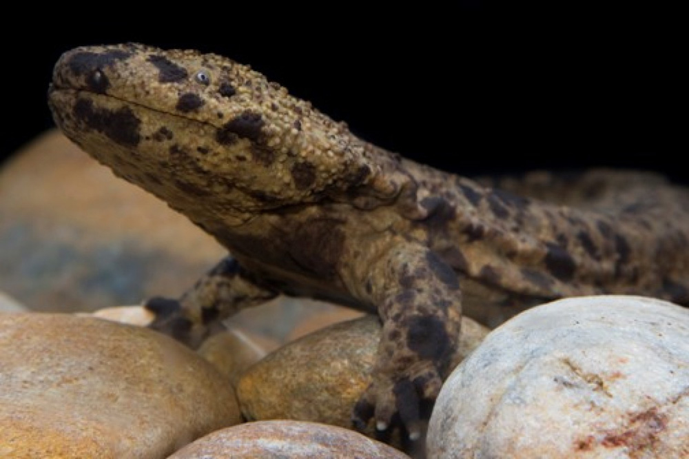 Исполинская саламандра - древнее неуклюжее чудовище