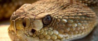 Гремучая змея: фото, внешний вид, описание, яд, чем опасна