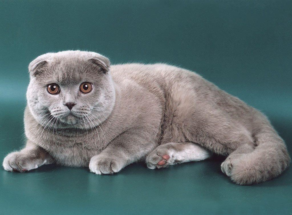 О кормлении шотландской вислоухой кошки: корм или натуралка?