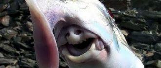 Слоновая акула-призрак: фото, внешний вид, описание и особенности
