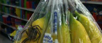 Банановый паук: фото, описание, внешний вид, чем опасен