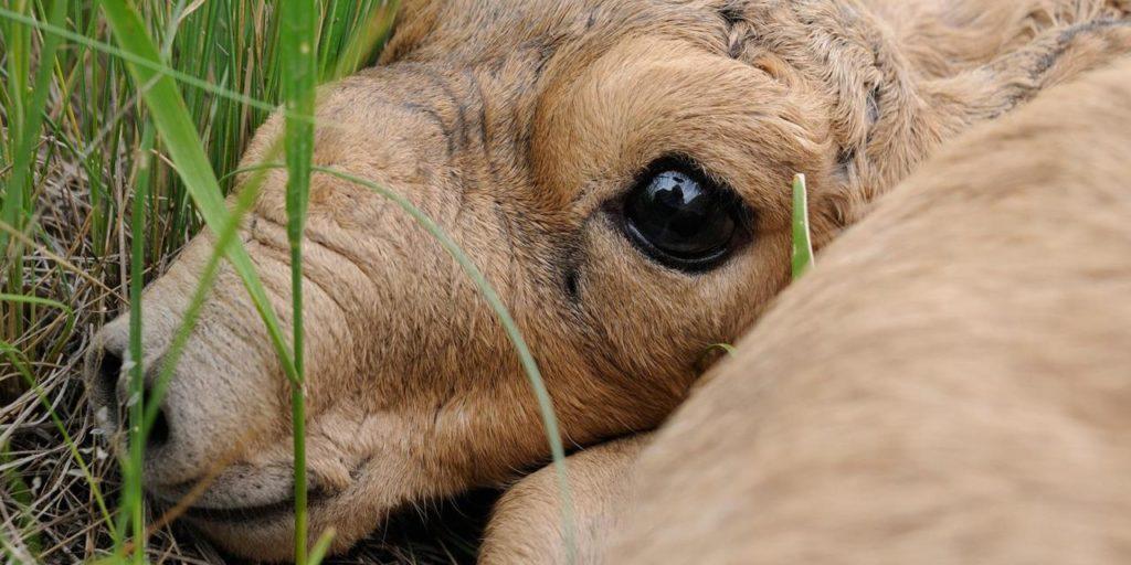 Сайгак - очень странный козёл