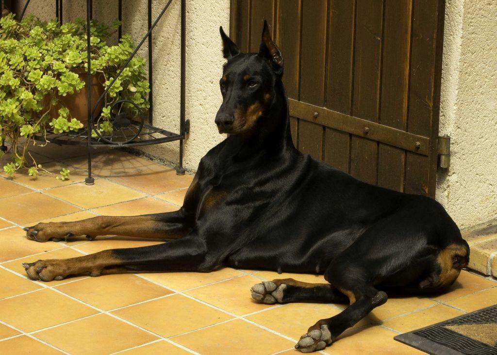 Собака в городской квартире: советы по выбору породы