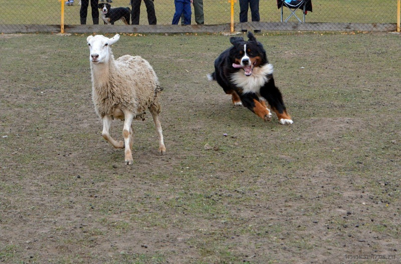 Бернский зенненхунд - бренская овчарка