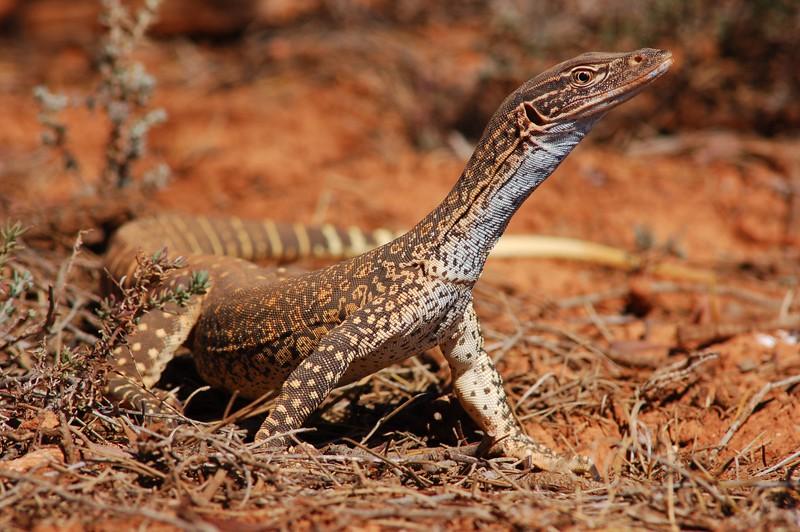 Песчаный варан: вам привет из Австралии