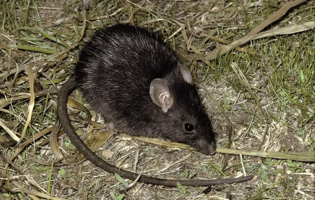 Черная крыса: Крысиный Король, тьма и чума