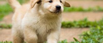 Лабрадор: фото собаки, описание породы, внешний вид и характер