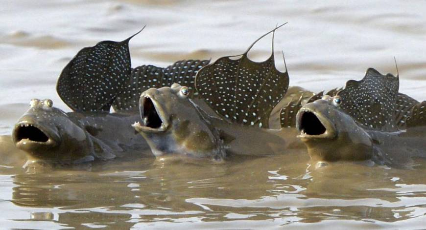 "Илистый прыгун - Сухопутная рыба ""торпеда"""