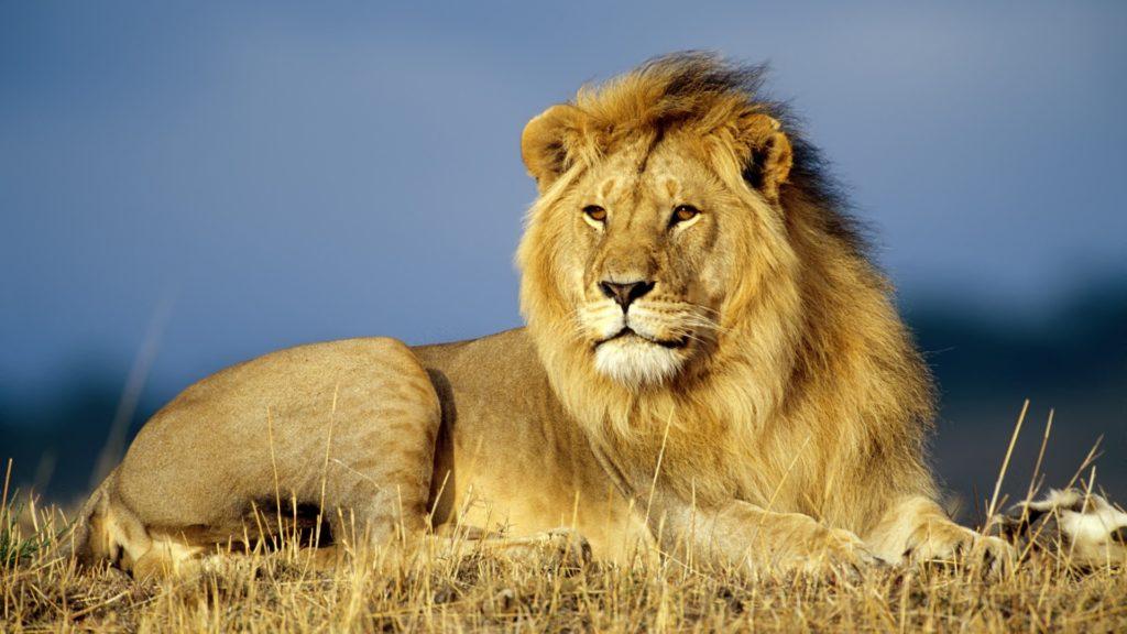 Топ-8 интересных фактов о Львах