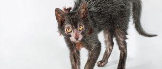 Ликой: фото кошек, описание породы, история и особенности