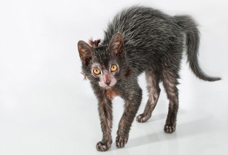 Ликой: мода на ободранных котов (хотя кто-то называет их оборотнями)