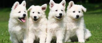 Швейцарская овчарка: фото собак, описание породы, история
