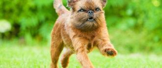 Собаки которые не линяют: фото, описание пород, особенности