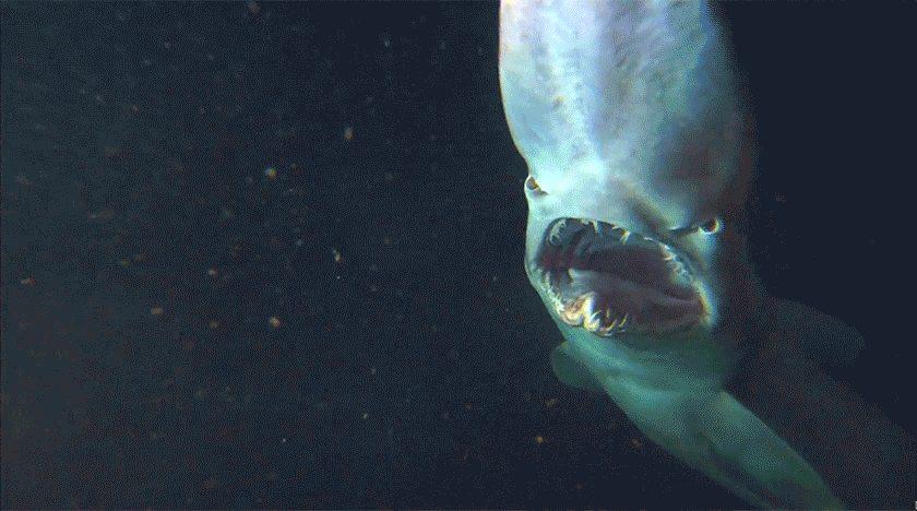 Акула-гоблин: Легендарный глубоководный монстр