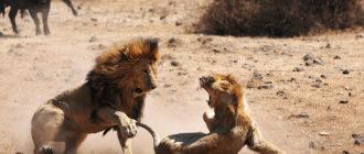 Львы: список интересных фактов, описание, особенности