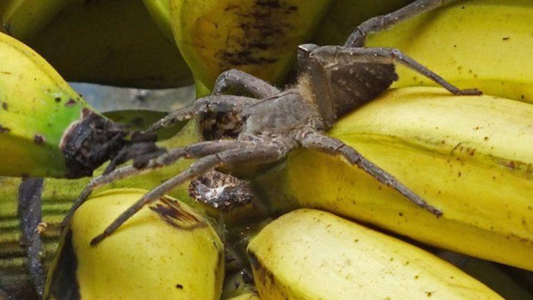 банановый паук фото имеет