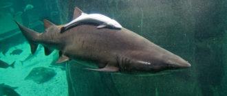 Рыба-прилипала: фото, внешний вид, поведение, особенности