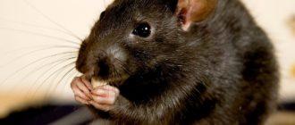 Черная крыса: фото, внешний вид, особенности и чем опасны