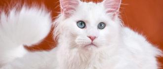 Порода мейн кун: фото кошек, окрас, кодировка EMS