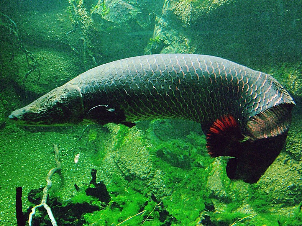Гигантская Арапайма: Крупнейшая пресноводная рыба-монстр