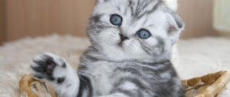 Шотландский вислоухий котенок и взрослый скоттиш-фолд