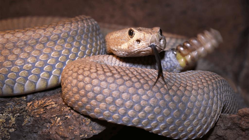 Гремучая змея: Погремушка великой Боли!
