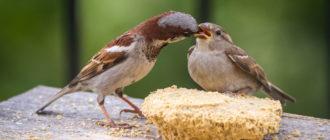 Домовый Воробей: фото птиц, внешний вид и особенности