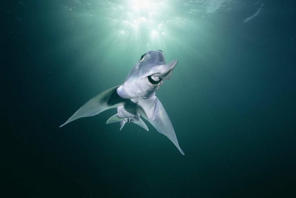 Слоновая акула-призрак: В Австралии фауна сходит с ума