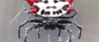 Шипастый кругопряд: фото, внешний вид, паутина, опасен ли