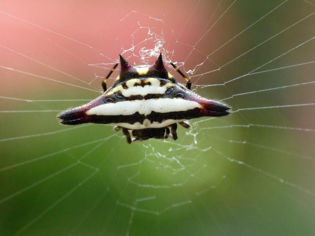 Шипастый кругопряд: колюще-режущий паук
